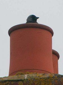 jackdaws nesting